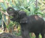 Projekt Sri Lanka- na ratunek słoniom indyjskim