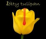Żółty tulipan