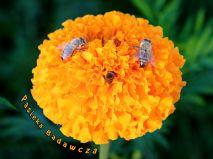 Pszczoły w tradycyjnych barciach - Pasieka Badawcza